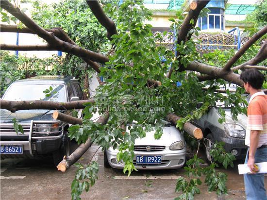 [组图]大树连根拔起 砸坏四部小车(获奖)