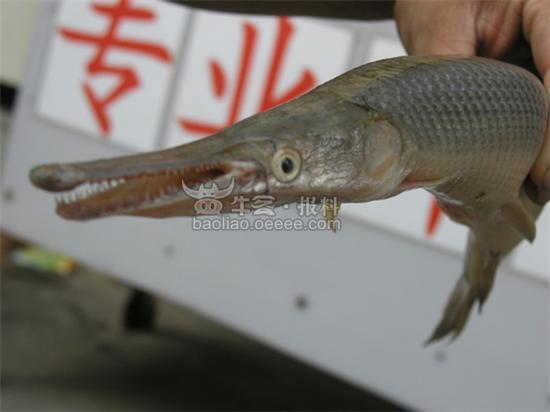 钓到一条很奇怪的鱼图片