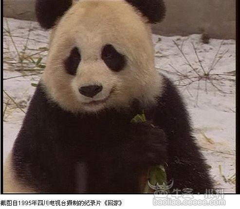 【愤怒】深圳野生动物园如此对待大熊猫