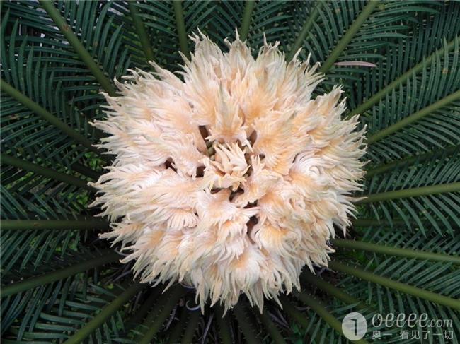 """【组图】 铁树花儿朵朵开 长成""""玉米"""" """"菠萝""""""""海"""